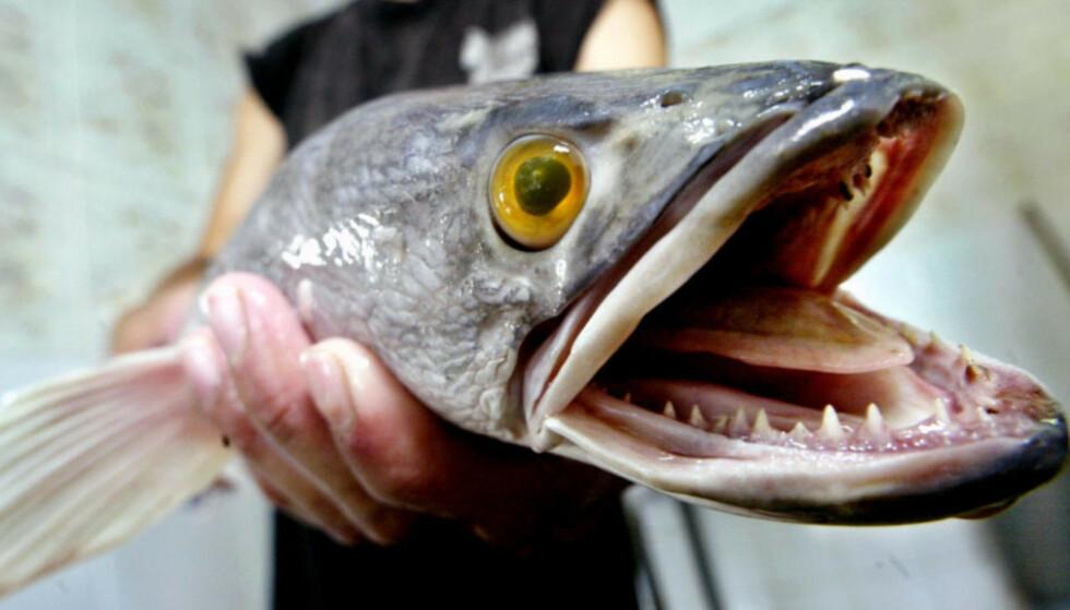 SLANGEHODEFISK: Den invaderende fiskearten hører egentlig hjemme i Kina, Russland og Korea, men har blitt oppdaget i USA de siste åra. Foto: Ed Wray / AP / NTB Scanpix