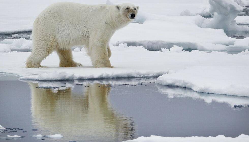 ISBJØRN: Etter svalbardmiljøloven er det forbudt å forfølge eller ved annen aktiv handling oppsøke isbjørn slik at den blir forstyrret. Illustrasjonsfoto: Håkon Mosvold Larsen / Scanpix