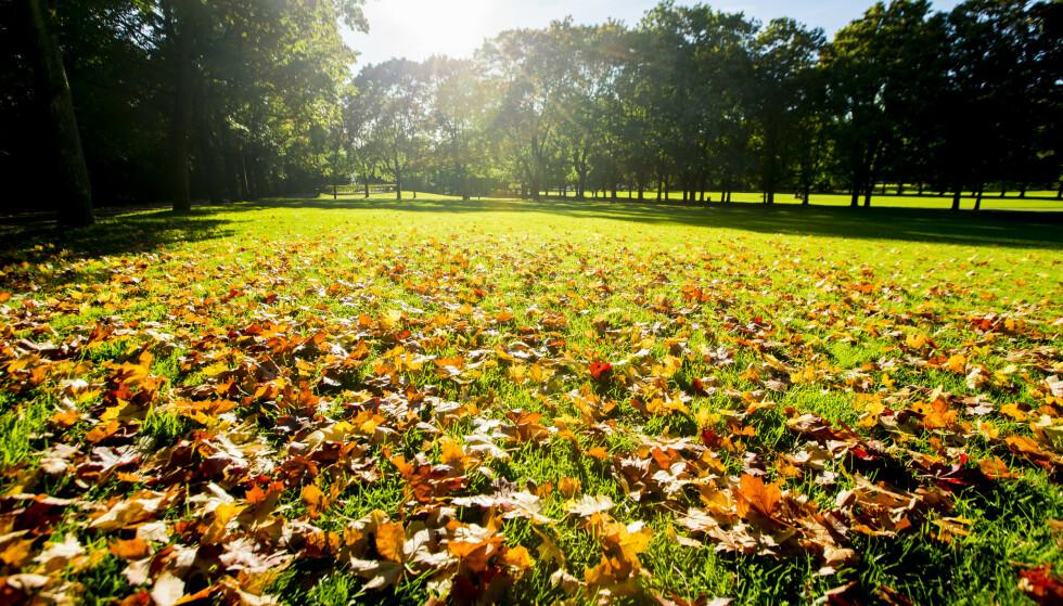 KNALLHØST: Halve landet får finvær. Andre halvdel får dårlig vær. Bildet viser høstløv i Frognerparken i Oslo, som antagelig ikke får nyte finværet denne helga. Foto: Vegard Wivestad Grøtt / NTB scanpix