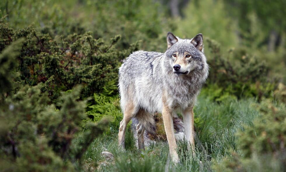 SKAL TAS UT: Etter nok en sommer hvor ulv har tatt sau i Nord-Østerdal, åpner Miljødirektoratet for at det blir tatt ut ulv i området. Illustrasjonsfoto: Ole C.H. Thomassen / Dagbladet