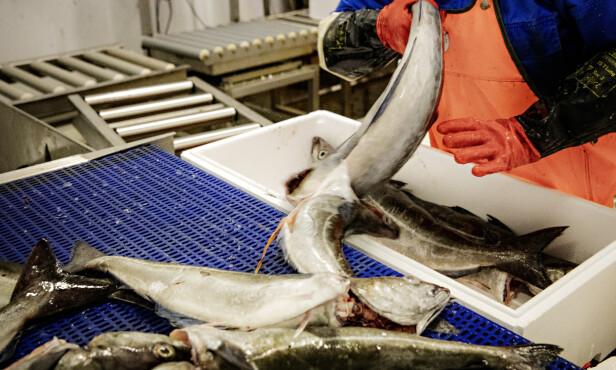 FISKEARBEID: Ifølge Arbeidstilsynet fikk flere av de ansatte ikke overtidsbetalt. Foto: Nina Hansen/Dagbladet