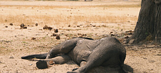 Krise i Zimbabwe: Et hundretall elefanter døde