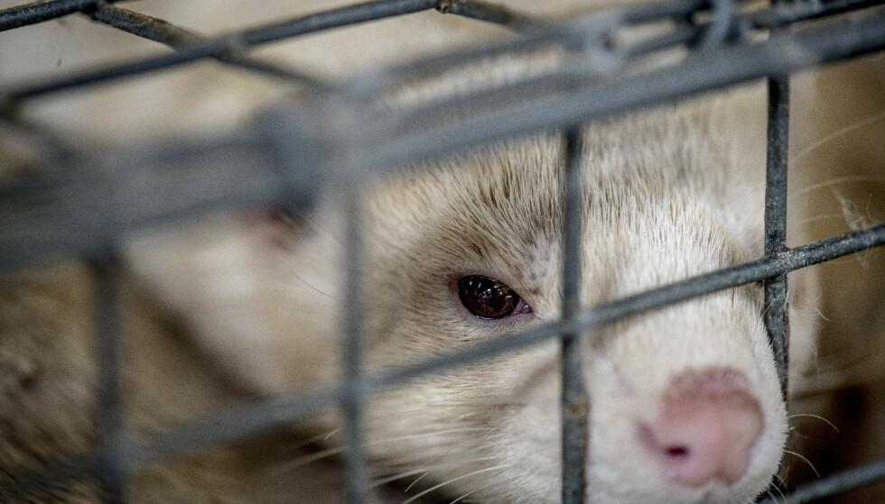 PELSDYR: Regjeringa har kommet fram til en kompensasjonsordning for pelsdyrbøndene som må legge ned driften, og legger minst 800 millioner kroner på bordet. Foto: NTB Scanpix