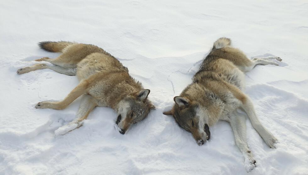 STEMMER NEI: Frp vil stemme nei til Sps forslag om å skyte ulvene i Rømskog og Mangen-revirene. Bildet viser ulver skutt i Rendalen i 2019. Foto: Statens Naturoppsyn / NTB scanpix