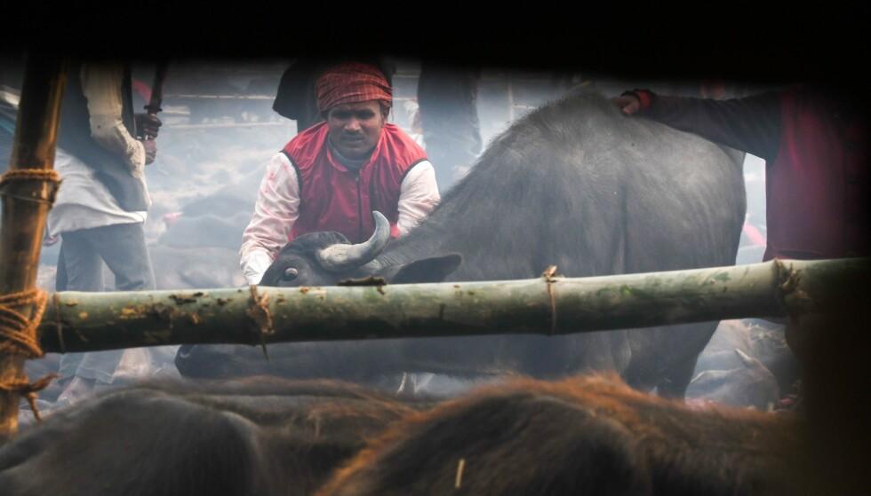 SLAKTES: En hindu som deltar på Gadhimai-festivalen gjør seg klar til å slakte en bøffel tirsdag. Foto: AFP
