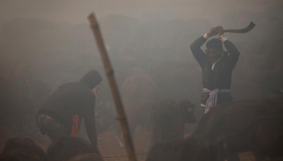 TUSENVIS: Under den to dager lange festivalen slaktes tusenvis av dyr. Foto: Reuters