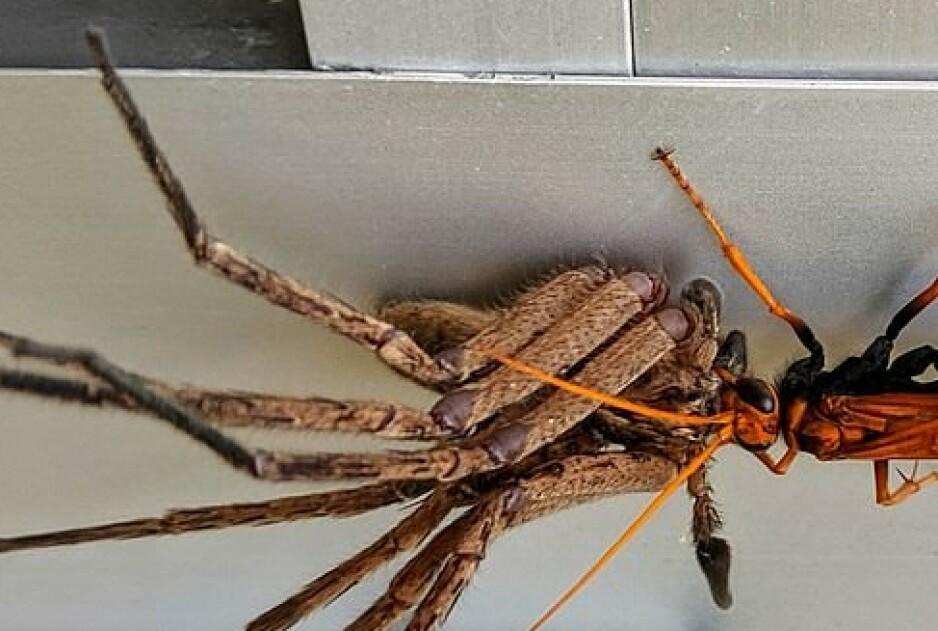 VIRALT: Dette bilde av en tarantell-veps som bærer på en huntsman-edderkopp har gått viralt på nettstedet Reddit denne uka. Foto: Reddit