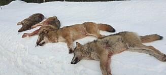 Fire av seks ulver skutt ved Elverum