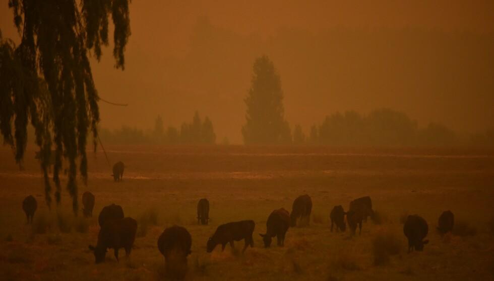 KATASTROFE: Vi ødelegger naturens forsvarsmekanismer. WWF Australia estimerer at over en milliard dyr har blitt drept i brannene der. Flere allerede hardt pressede arter kan være utryddet. Flammene er også så intense at frøene i jordsmonnet kanskje ikke overlever, skriver kronikkforfatteren. Foto fra Towamba, to mil sør for Eden i New South Wales: Peter Barks / AFP / NTB Scanpix