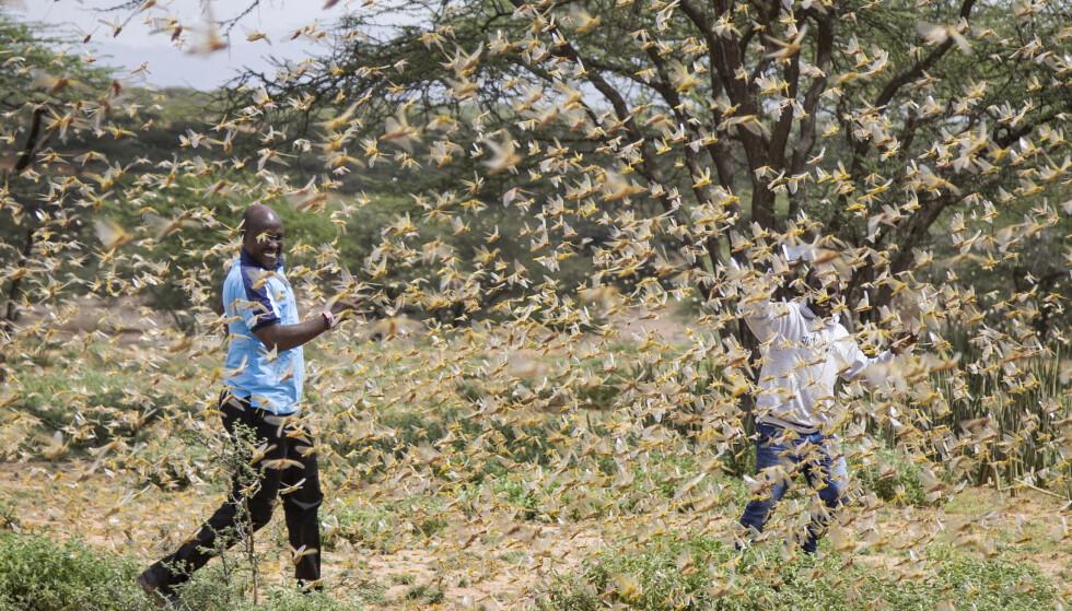 SVERM: Bildet er fra landsbyen Sissia i Kenya, og ble tatt i går. Det viser de enorme mengdene av gresshopper. Foto: Patrick Ngugi / AP / Scanpix