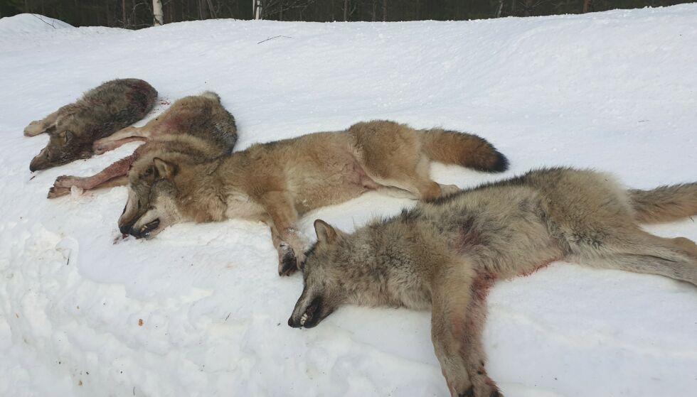 SKUTT: Fire av de seks ulvene i Letjennareviret i Elverum i Hedmark ble skutt første dag av lisensjakten i 2020. Foto: Statens Naturoppsyn / NTB scanpix