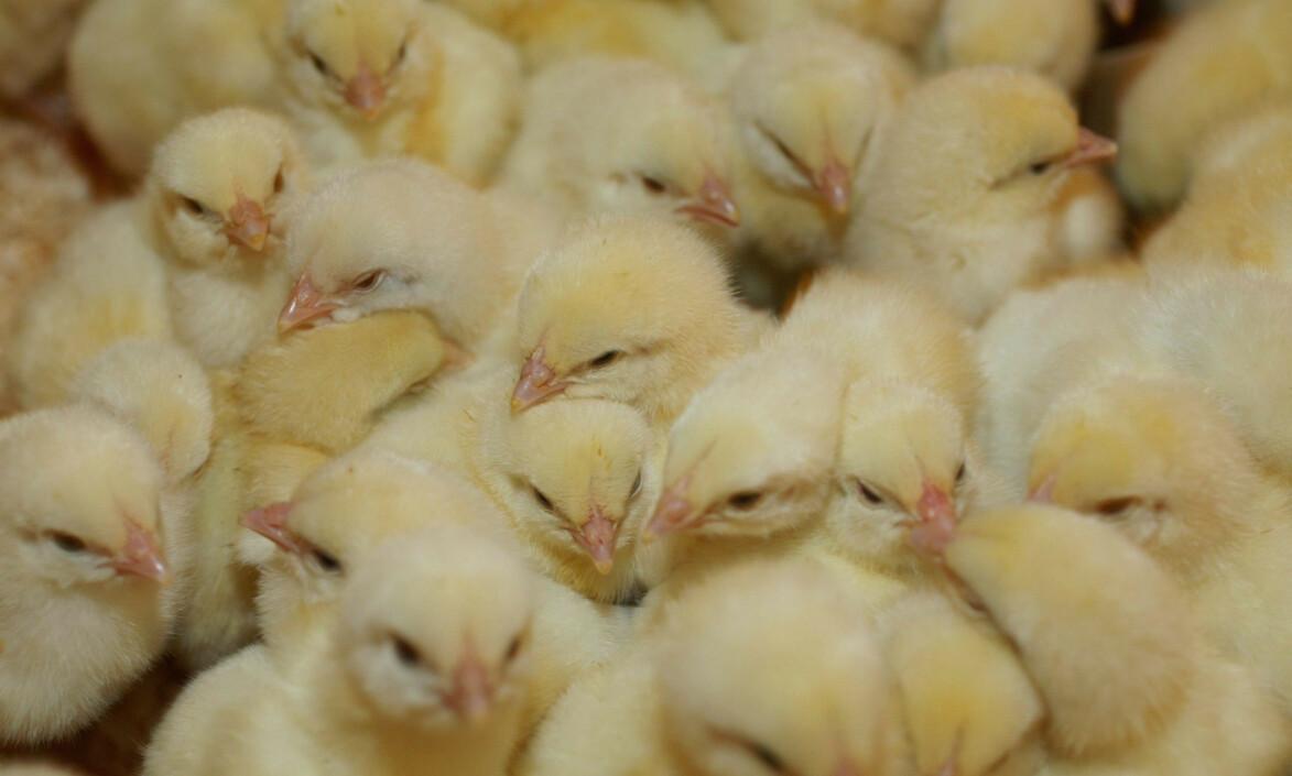 IKKE BARE I KINA: - Det er en stor feilslutning om man tror at det bare er dyreavlen i Kina som er problemet. Andre farlige virus har sitt opphav i industriell produksjon av «tamme» dyr som kyllinger eller griser, skriver innsenderen. Kyllingene på bildet er ett døgn gamle. Foto: NTB Scanpix