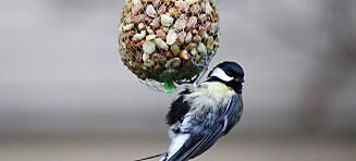 Ekspert: Slutt å mate fuglene etter påske