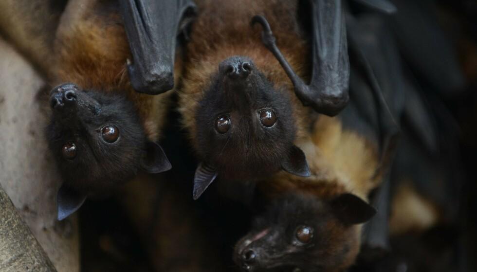 SMITTEBÆRER: Forskere har sporet viruset tilbake til flaggermus av typen flygerhunder, som hovedsakelig livnærer seg av frukt. Foto: Sam Panthaky / AFP / NTB Scanpix