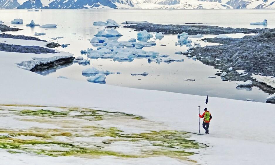 GRØNN SNØ: Et engelsk forskerteam mener at den grønne snøen kommer til å spre seg på grunn av global oppvarming. Foto: AFP.