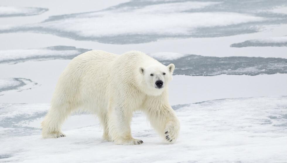 SVALBARD: En isbjørn på Svalbard, avbildet i 2012. Foto: FLPA/REX