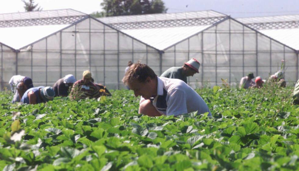 LAVTLØNNET: Vanligvis kommer omtrent 40 000 sesongarbeidere til Norge for å jobbe i jordbruket. Foto: NTB Scanpix