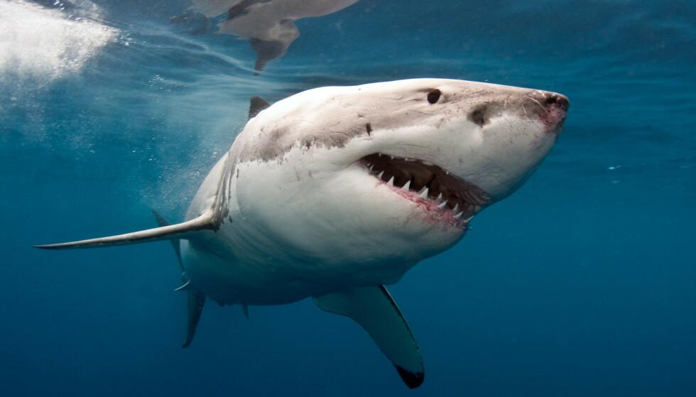 HVITHAI: Alle forholdene i Norge ligger til rette for at hvithaien kan komme hit, sier haiekspert. Foto: Scanpix