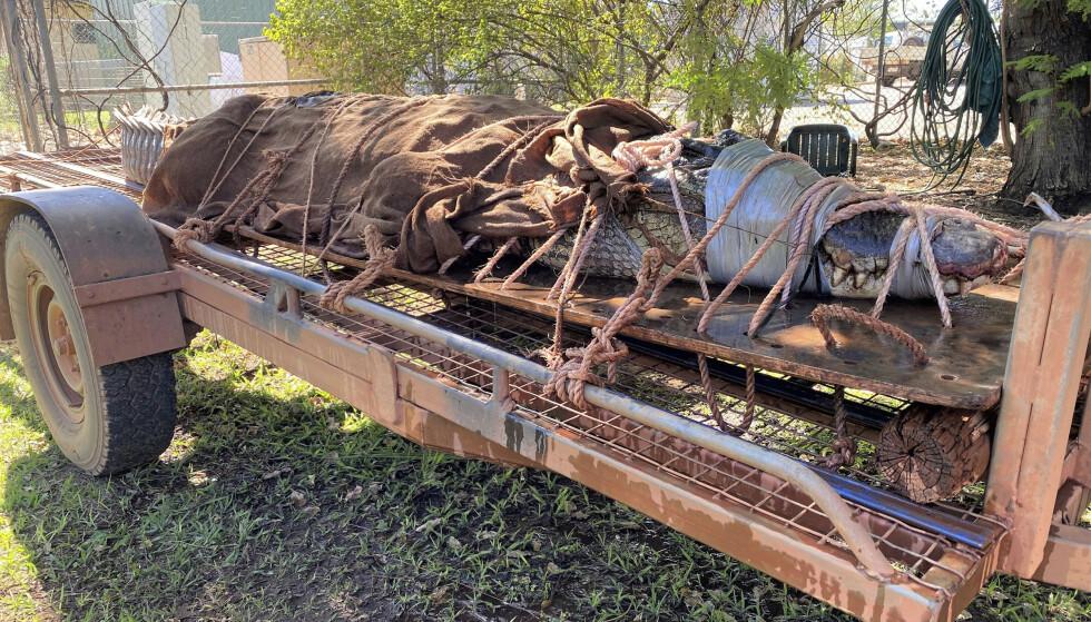 DIGER: Saltvannskrokodillen er den største som har blitt fanget i dette området på mange år. Foto: AP / NTB Scanpix