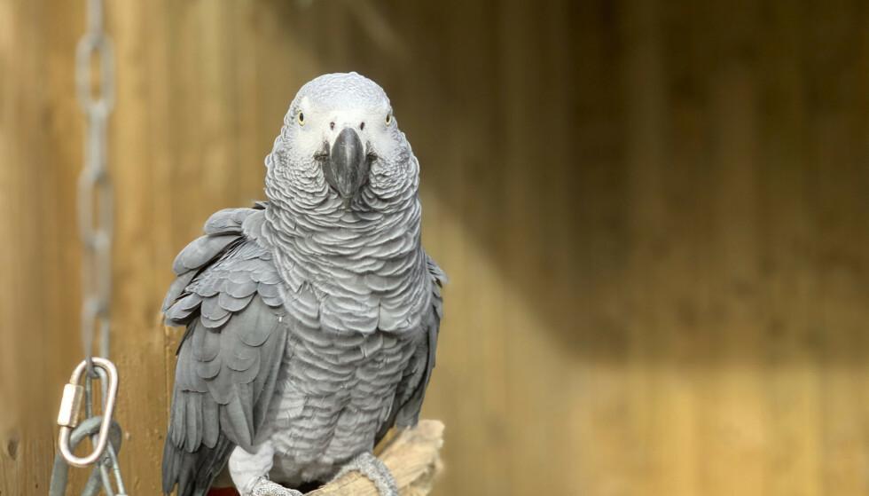 <strong>IKKE LA DEG LURE:</strong> En søt papegøye med en litt skitten munn. Foto: Steve Nichols / AP / NTB.
