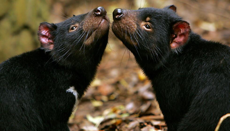 UTPLASSERT: For å prøve å heve bestanden av tasmanske djevler, har flere dyr blitt satt ut i et reservat. Foto: AFP / NTB