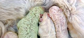 Hevder valp ble født med grønn pels