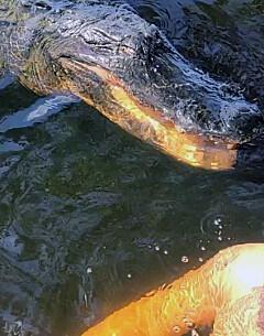 Image: Skrekkopplevelse med alligator