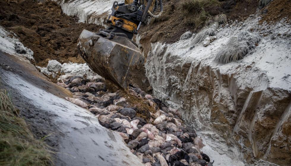 En av flere massegraver der døde minkdyr dumpes ettersom krematoriene ikke har kapasitet til å ta unna alle dyrene som avlives i virusfrykt. Foto: Morten Stricker/Ritzau Scanpix via AP/NTB