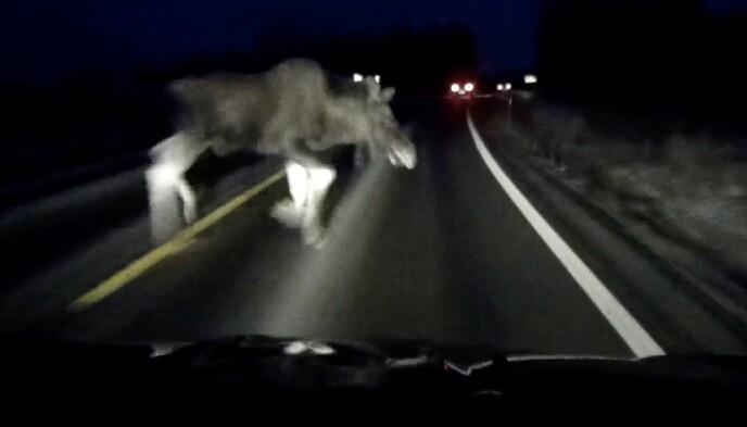 ELGEN: Denne elgen dukket plutselig opp foran bilen til Jan Kristian Simensen, som ikke hadde noen mulighet til å unngå kollisjonen. Foto: Jan Kristian Simensen.
