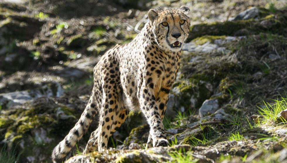 KITO: Kjendisleoparden måtte avlives etter en kneskade. Foto: Dyreparken