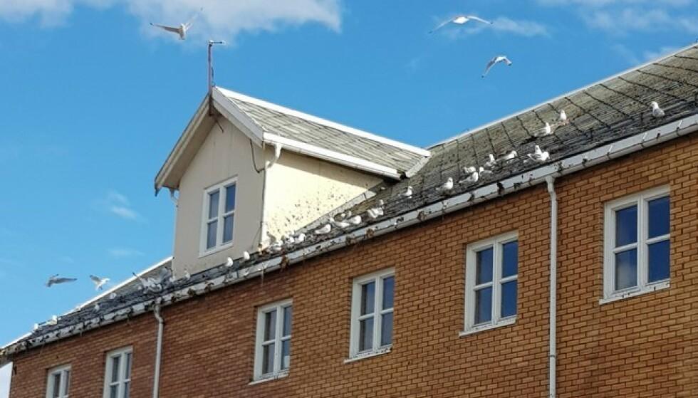 FUGLEIDYLL: Det var slik på taket av biblioteket før kommuneflommen. Foto: Olaf Andreassen