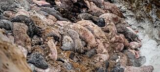 Død mink presses opp av massegravene