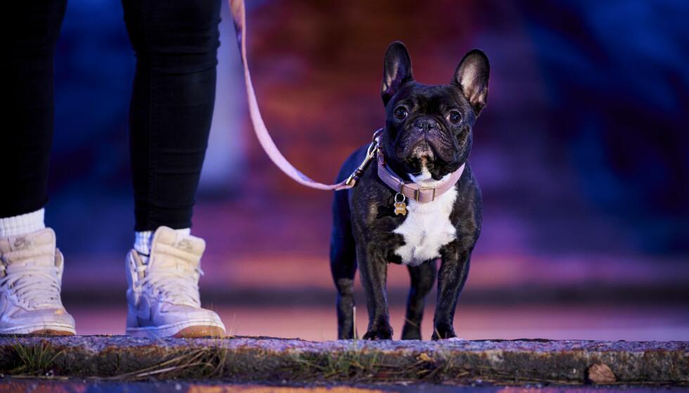 UKJENT OPPHAV: - Jeg vet ikke hvor hunden er fra, hun kan like godt være fra en valpefabrikk, sier Havanas eier, Juanita Løvseth. Foto: Ole Martin Wold
