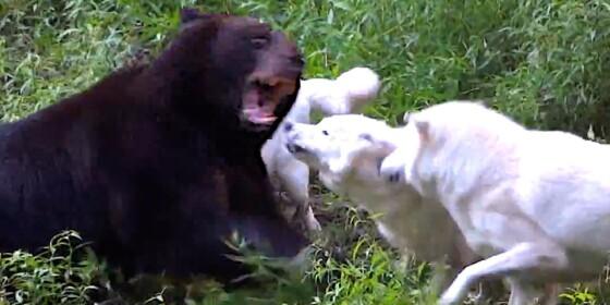 Image: Ser ikke bjørnen