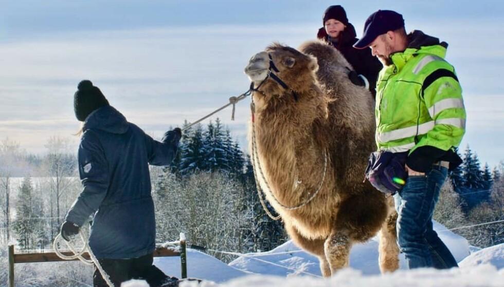 LUFTETUR: Familien Sætereng og kamelene på Sørøya i Hammerfest har blitt internasjonale filmkjendiser i løpet av noen måneder. Foto: Facebook/Bor og Bestla.