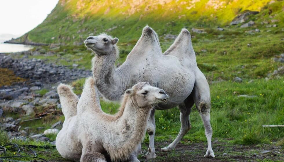 EKSOTISK I FINNMARK: De mongolske baktriakamelene Bor og Bestla er Norges første kameler utenfor dyrehage. Foto: Facebook/Bor og Bestla.