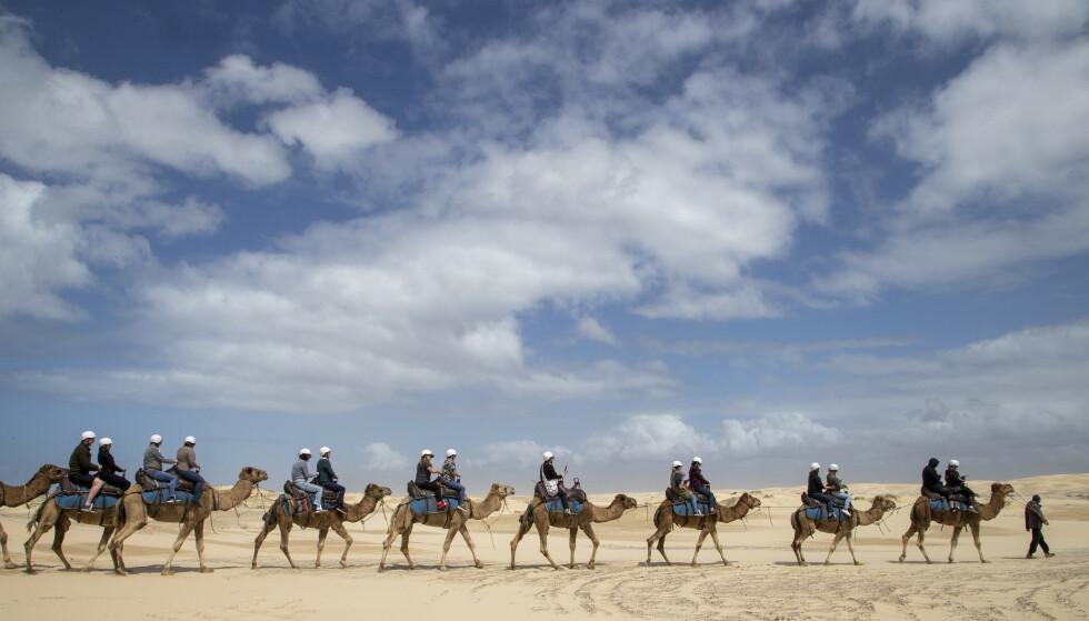 HJEMME: Australia har verdens største stamme av viltlevende kameler, over en million. Her enpuklede dromedarer ved Nelson Bay i delstaten New South Wales. Foto: Mark Baker, AP/NTB.