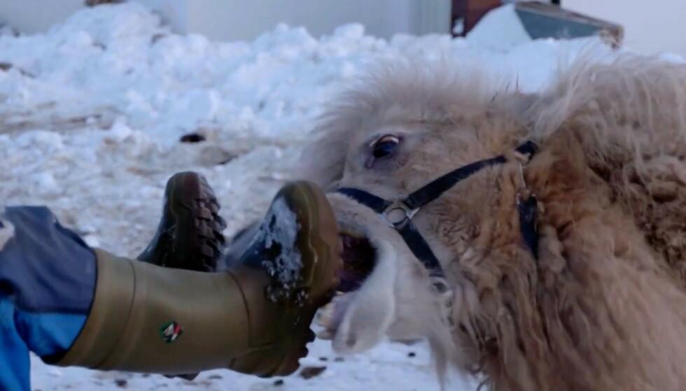 """BITER I FRA SEG: Finnmark-kamel og filmkjendis Bor har viklet seg inn i dramatikk hjemme i Akkarfjord. Foto: Filmen """"Kamel""""/Karl Emil Rikardsen."""
