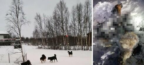 Løshunder angrep skolegutt: - Må alltid ha våpen for å beskytte seg