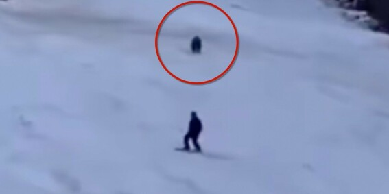 Image: Jages av bjørn i alpintbakken