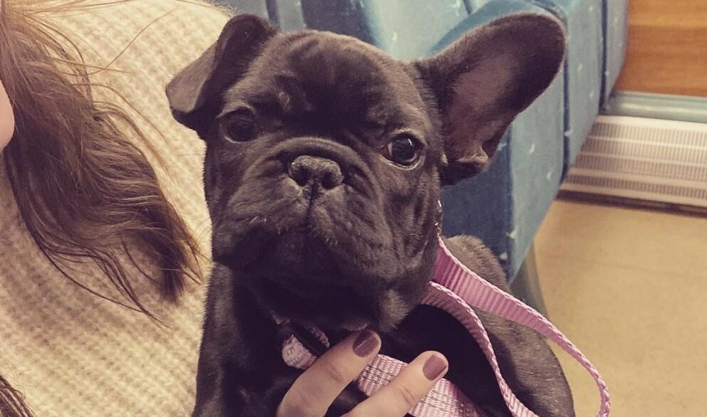 REDDE FOR VERA: Den lille franske bulldog-valpen Vera er nå på isolat på et hundehotell nær Gardermoen. - Vi frykter at Vera og 12 andre valper blir avlivet av Mattilsynet, sier eier.