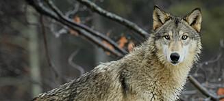 Rettssaken handler ikke om ulv