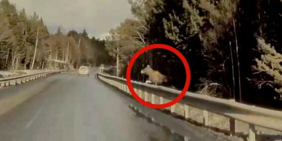 Image: Tesla-sjåfør overraskes av elgen