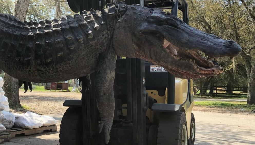 MASSIV JEGER: Alligatoren som denne uka ble brakt inn til en slakter i Sør-Carolina var over tre og en halv meter lang og veide 200 kilo. Foto: Cordray`s / Facebook