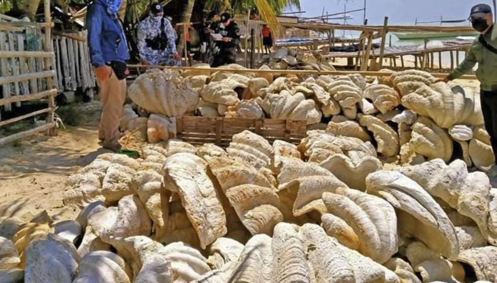 SLÅR ALARM: Natur- og dyrevernere slår alarm om den ulovlige høstingen av kjempemuslinger. Skallene brukes til å produsere en rekke varer som tidligere ble laget av elfenben. Foto: AP / NTB