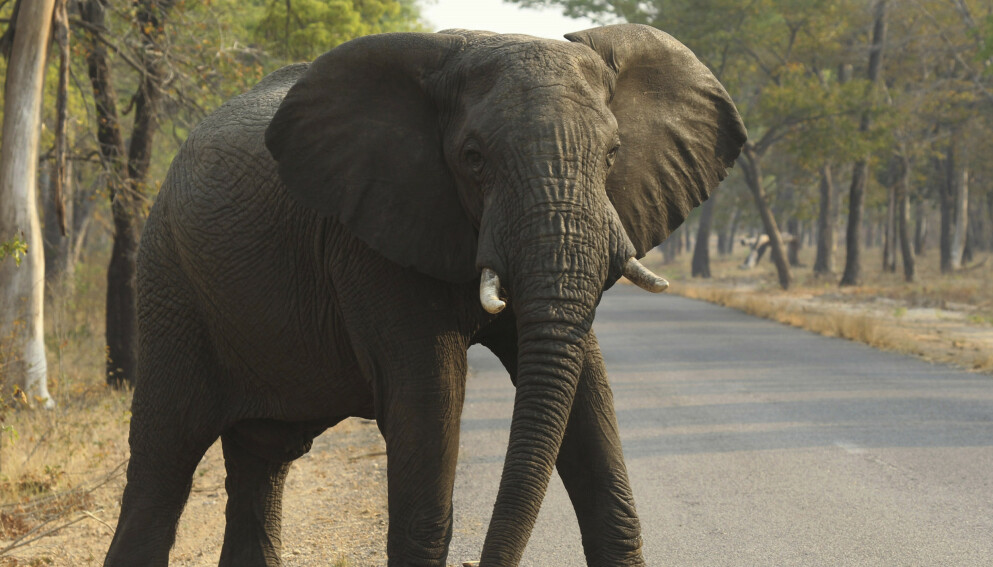 UTRYDNINGSTRUET: En elefant i nasjonalparken i Hwange i Zimbawe. Foto: NTB