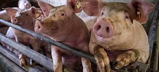Kuttet av penis og testikler - spist av gris
