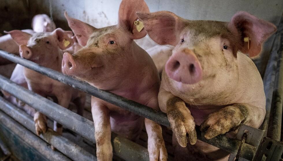 MATET: En mann i Brasil fikk penis og testikler kuttet av for tre uker siden. Nå antas det at griser i området spiste de avskårne delene, før letemannskap kunne finne dem. Illustrasjonsfoto: AP/Michael Probst)