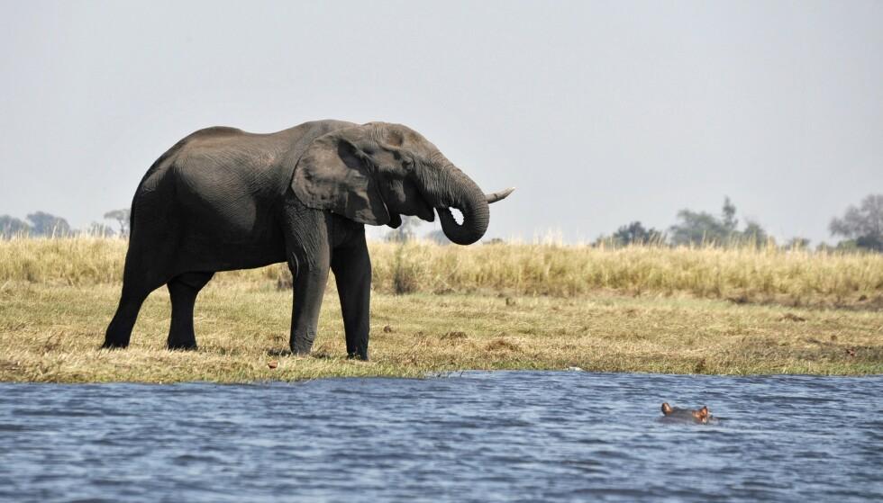 BOTSWANA: Botswana har verdens største elefantpopulasjon. Foto: Nicole Cambre/Rex Features