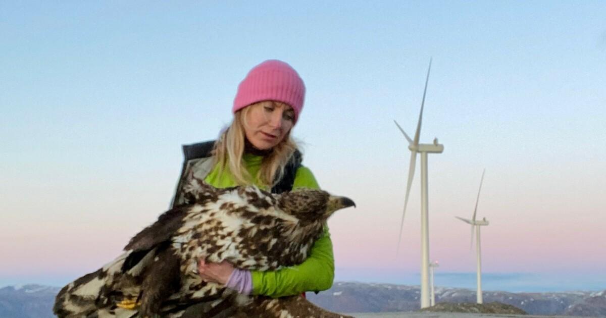 Fant død ørn ved vindkraftverk